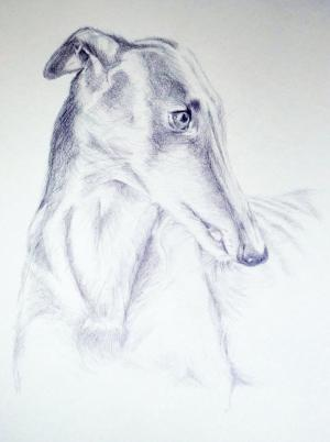Greyhound pencil drawing