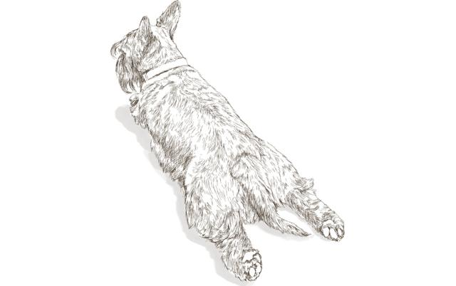 Scottish terrier drawing